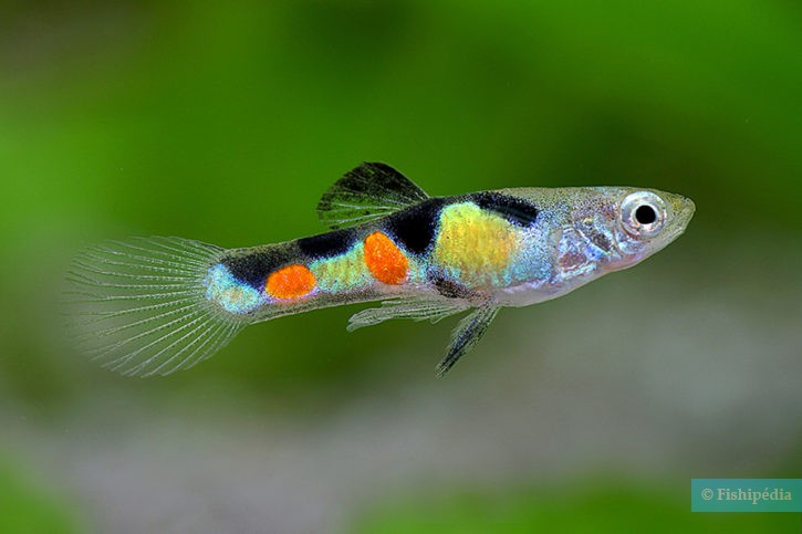 Guppy Endler
